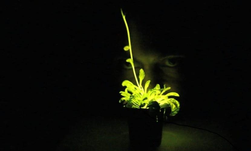 Planta con bioluminiscencia