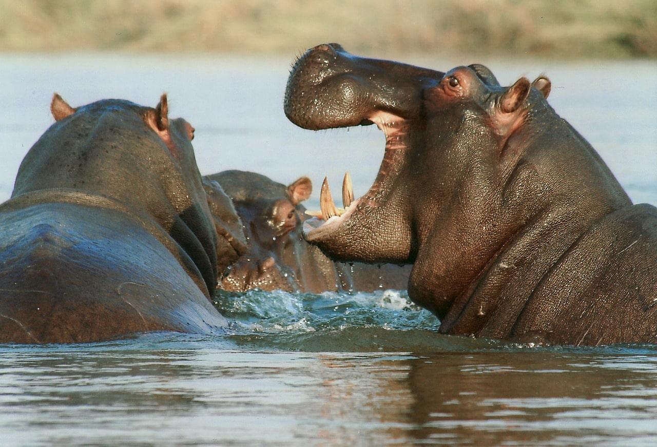 Acerca del hipopótamo peludo